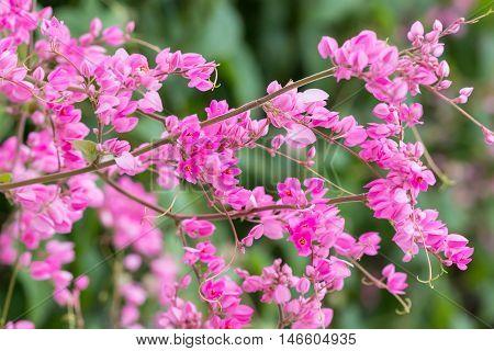 Coral Vine Or Antigonon Leptopus Hook Flower  In The Garden