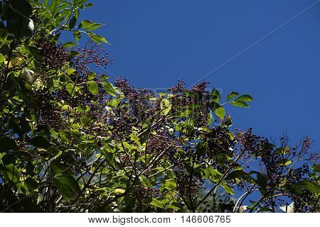 ripe elderberries on the bushes against the clear blue sky corner background with copy space