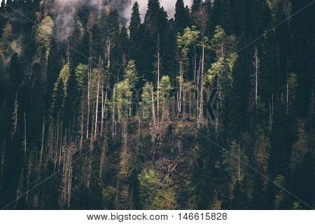 Coniferous Forest tree Background foggy wild woods landscape Travel concept