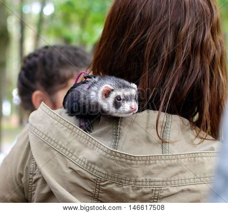 Small home ferret sits on the shoulder of the mistress