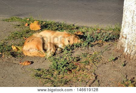 stray dog with red, golden hair lies on the ground near the tree in sunny morning.