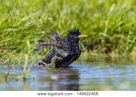European Starling Taking A Bath
