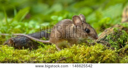 Wood Mouse Walking On Forest Floor