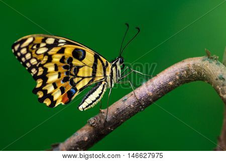 Tropical common lime butterfly on the tree. Macro photography of nature.