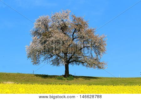 A blooming lone Tree in Spring with canolas in front