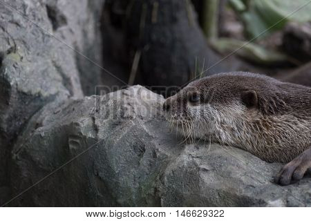small clawed otter resting on rock in nature