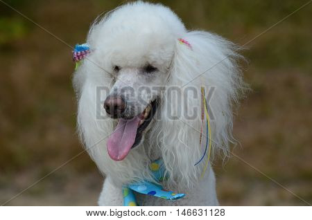 Pretty groomed white standard poodle dog with bows