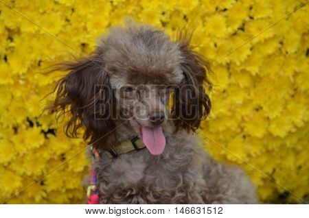 Groomed yellow toy poodle dog with a backdrop of yellow mums.