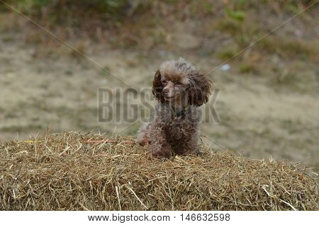 Cute brown toy poodle sitting on a bail of hay.
