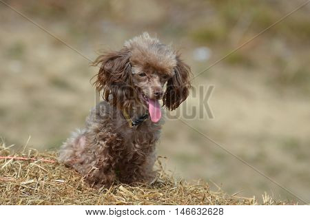 Sweet brown toy poodle sitting on a bail of hay.