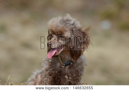 Brown toy poodle with his pink tongue sticking out.