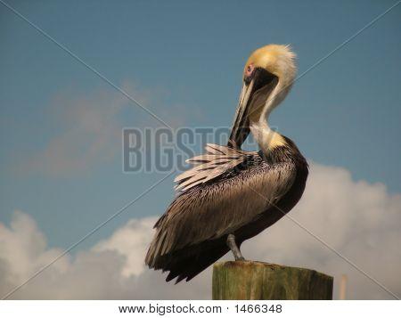 Pelikan Model