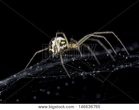 Spider on Cobweb with water droplets close up.