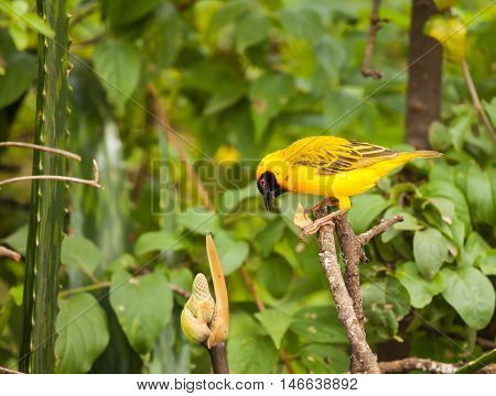 The Kilombero weaver (Ploceus burnieri) is a species of bird in the Ploceidae family. It is endemic to Tanzania.
