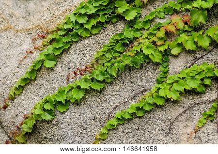 Green ivy climbing on a rock face at Taiping Palace at Mount Laoshan in Qingdao China in Shandong Province.
