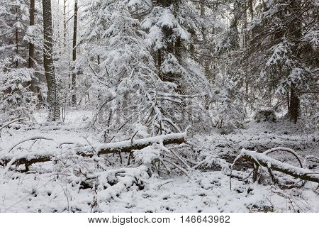 Winter landscape of natural forest with dead spruce tree trunks lying, Bialowieza Forest, Poland, Europe