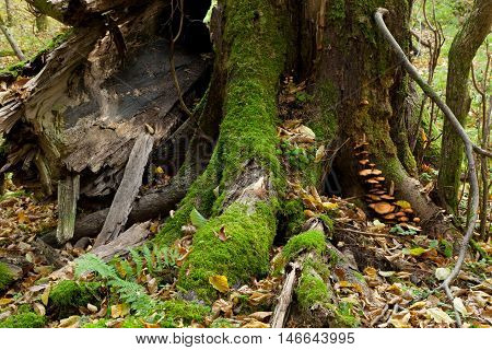 Partly declined stump with fungus in fall, Bialowieza Forest, Poland, Europe