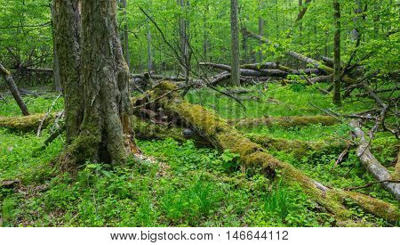 Old monumental Hornbeam Trees (Carpinus betulus) and broken trees around in deciduous stand, Bialowieza Forest, Poland, Europe