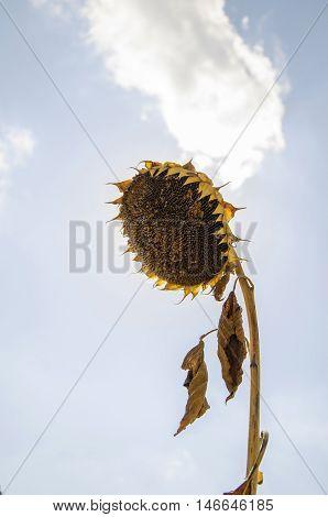 Dead sunflowers on sky background. Dead sunflower field