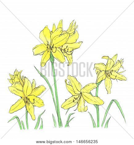 hand drawn watercolor flower daylily on white background