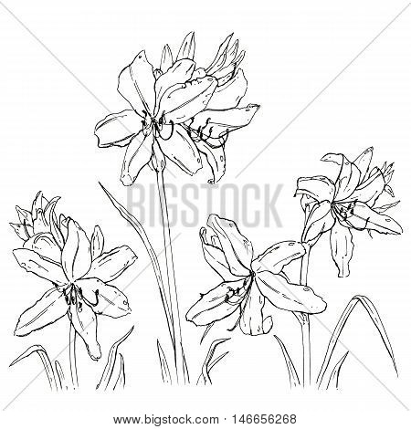 hand drawn set of graphic flowers daylily on white background