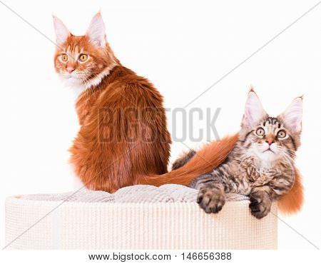Portrait of domestic Maine Coon kittens - red and black tabby mackerel. Cats isolated on white background.