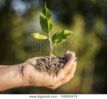 Hands holding a seedling for planting in sunlight.
