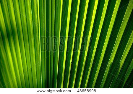 Abstract closeup of a green pleated palm leaf. Detailed texture