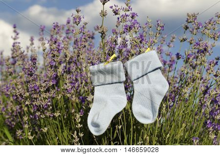 Lavender field and baby socks with yellow pegs