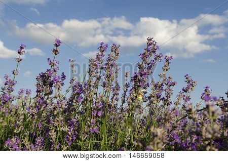 Lavender field and essential oil during the sunny day