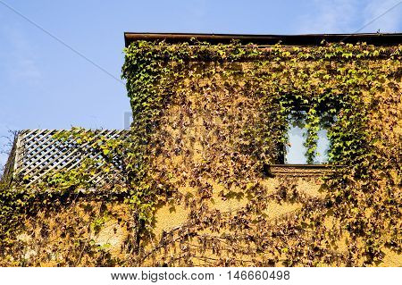 Climbing plant vines covering rustic old house
