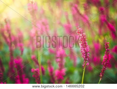 Purple Loosestrife Flower in the garden in spring