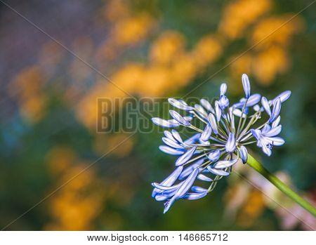 Close up of a beautiful blue Alium flower