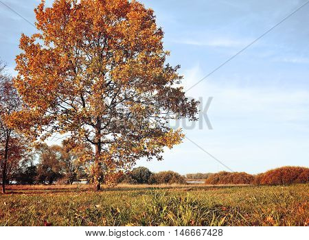 Autumn landscape with yellowed autumn trees. Autumn nature -decidious autumn oak in autumn sunny grove. Colorful autumn view of autumn field. Vintage tones applied. Autumn nature in sunny weather.