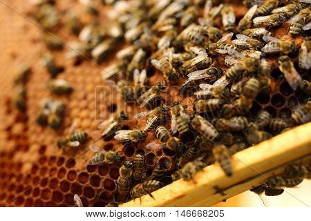 Beekeeper is working with bees and beehives on the apiary. Beekeeper on apiary. Beekeeper pulling frame from the hive