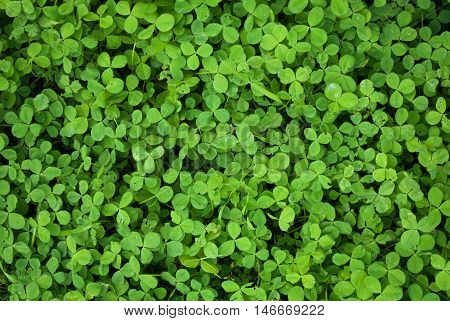 green background with three-leaved shamrocks clover leaves photo