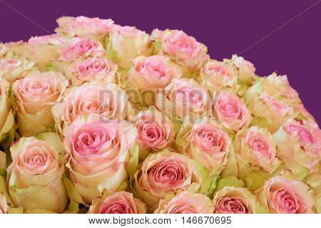 Bunch of pink and greenish roses on violet background