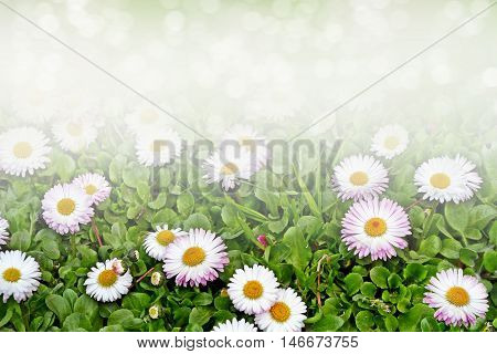 Wildflowers daisies. Camomiles in green grass close up