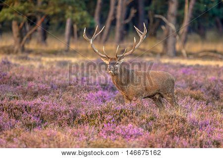 Male Red Deer