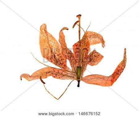 extruded dried orange lily flower petals isolated