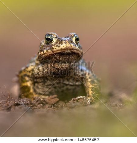 Natterjack Toad On Front Legs