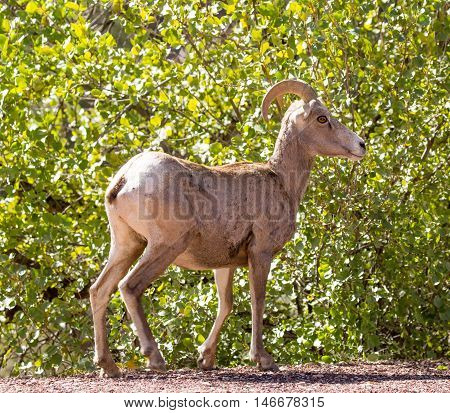 Bighorn Sheep - Ovis canadensis nelson. Zion National Park, Utah, USA. The bighorn sheep is a species of sheep native to North America named for its large horns.