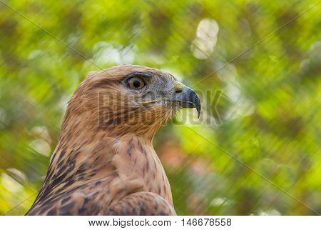 Portrait of Common Buzzard against motley background