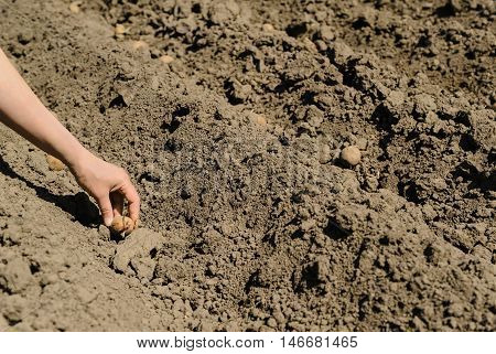 Planting seed potatoes. Human hand puts the tubers in the ground.