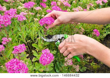 Two hands pruning sedum plant with secateurs