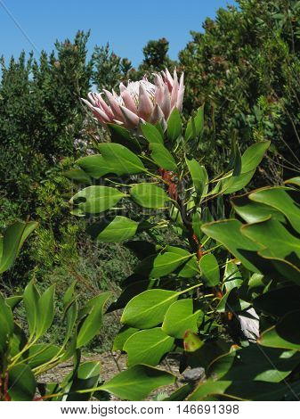 Proteas From Kirstenbosch, Cape Town South Africa
