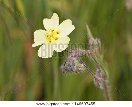 Spotted Rock-rose - Tuberaria guttata Small Mediterranean Flower