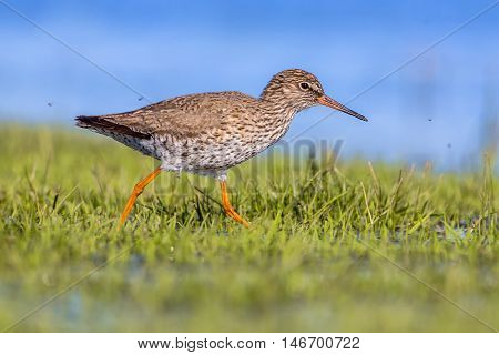 Common Redshank Walking Through Grass