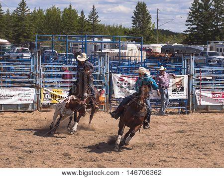 Rodeo. Kovboii trying to young Angus lassos. Winnipeg Manitoba Canada.