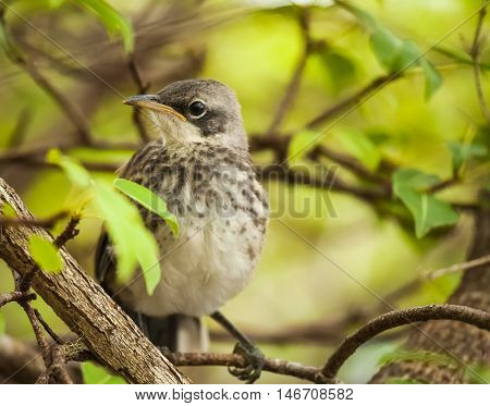 Galapagos Mockingbird is one of four mockingbird species endemic to the Galápagos Islands.